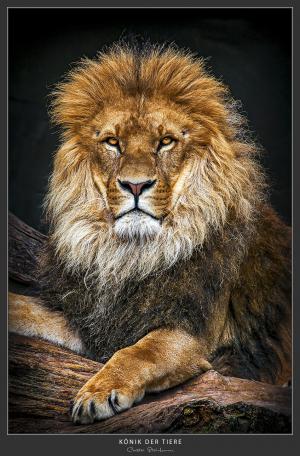König der Tiere - Afrika